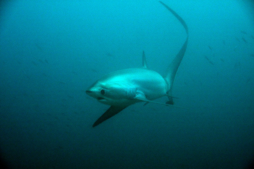 Evolution Diving thresher shark