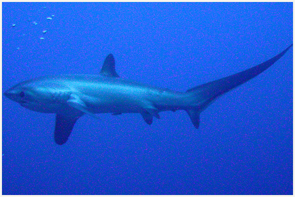 a thresher shark found in the rich waters of Malapascua